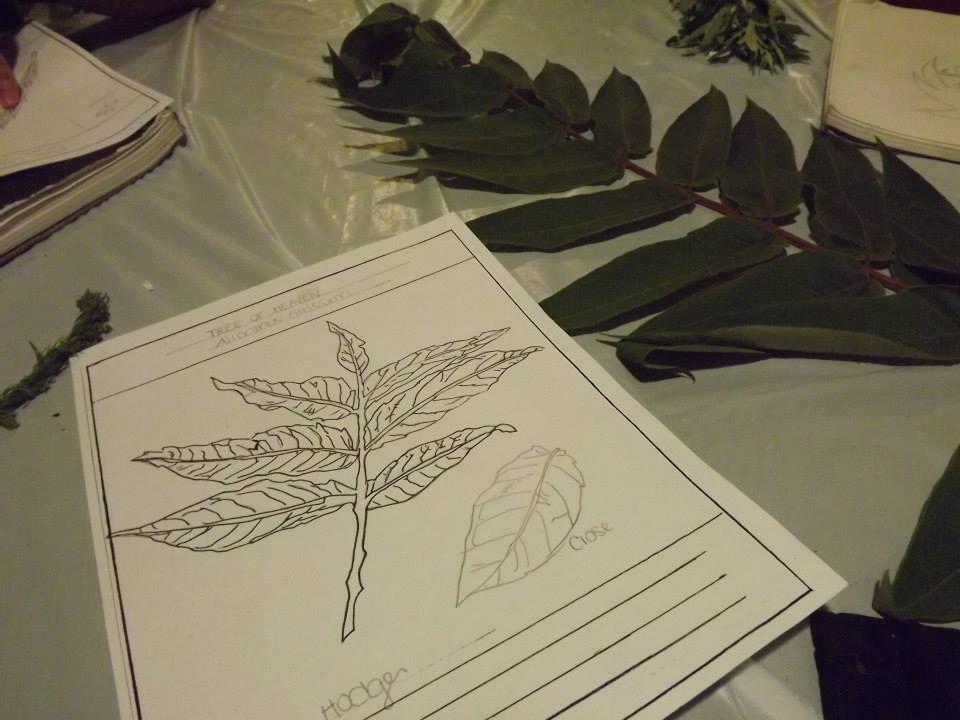 Making botanical drawings of weeds.